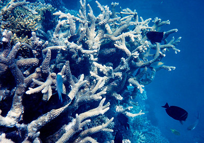 An underwater shot I took during one of my numerous SCUBA dives on the fringing reef just offshore from the USGS's As Shuaybah rest camp. The reef was lush, healthy, and pristine. The visibility was usually better than this image suggests: I often dove in waters with 80-100 feet of visibility. The waters were often so clear as to give one the impression of flying in mid-air. At the time, very few expats were diving on the reefs on the Saudi Arabian shore of the Red Sea.