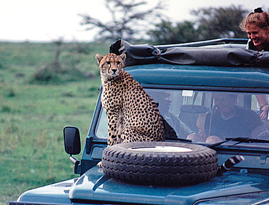 An overly inquisitive Cheetah jumped up onto the hood of this Land Rover when it stopped to photograph her. The car's occupants soon became the unwilling objects of HER curiousity! Serengetti Park, Tanzania.