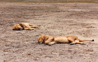 """""""No, we're NOT dead, just tired!"""" As you can see by the tire tracks just behind them, we were able to pass quite close to this pair of male lions sleeping on the cool sand of a dried-up waterhole. All the mammals (predator and prey alike) I encountered during my time on the game trails seemed content to ignore the noisy Land Rover, obviously well accustomed to four-wheeled tourists."""