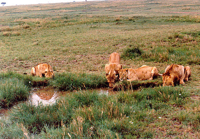 A pride of lionesses and a single immature male (far right) drink from a watering hole located in the middle of Ngorongoro Crater, Tanzania.