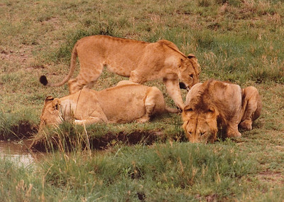 An immature sub-adult male lion (far right) tucks in at the local watering hole along with several females. It's likely that he was once the cub of one of the older lionesses in the pride, which explains why his presence was still tolerated by the rest of the pride. Usually, solitary young males are driven off by other pride members.