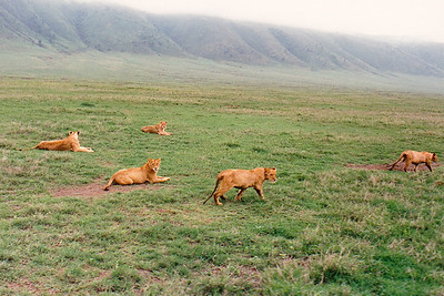 "A ""pride"" of female lions begins to stir and head out on the day's foraging as the morning mist slowly lifts from the rim of Ngorongoro Crater."