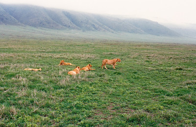 "A ""pride"" of six female lions begins to stir as the morning mist slowly lifts from the rim of Ngorongoro Crater (background)."