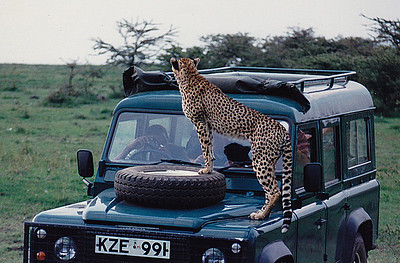 An overly inquisitive Cheetah jumped up onto the hood of this Land Rover when it stopped to photograph her. The car's occupants soon became the unwilling objects of HER curiousity! Serengeti Park, Tanzania.