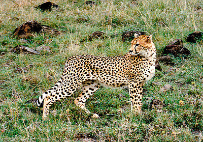 The visiting cheetah watches a vehicle of nosey tourists, Serengeti National Park, Tanzania.