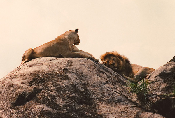 """The very essence and image of feline domesticity, a male and female lion snooze fitfully atop a granite """"kopje"""" as my Land Rover passes by, just a few meters from their perch. Serengeti National Park, Tanzania."""