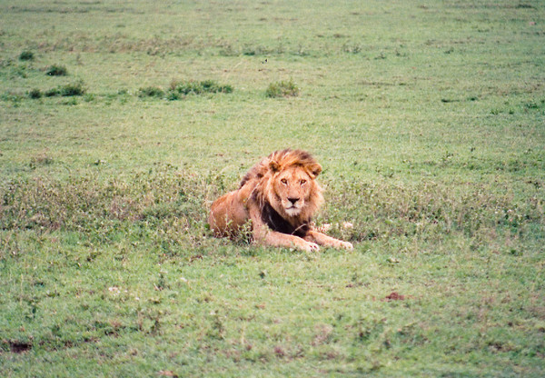 A wary male lion watches intently as my Land Rover passes by at a respectful distance.