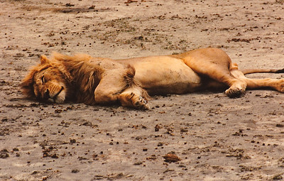 """""""No, I'm NOT dead, just tired!"""" All the mammals (predator and prey alike) I encountered during my time on the game trails seemed content to ignore the noisy Land Rover, obviously well accustomed to four-wheeled tourists."""
