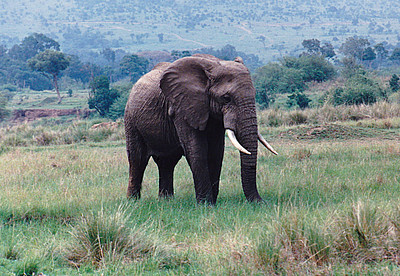 A female African Elephant grazing at the side of the dirt track near Kichwa Tembo, Tanzania.