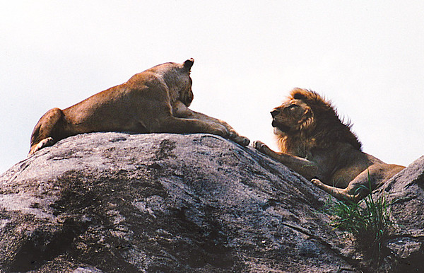 "African lions, mated pair sitting on a granite ""kopje"", Serengetti National Park, Tanzania."