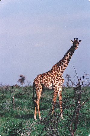 "A male Masai giraffe (Giraffa camelopardalis tippelskirchi), Masai Mara National Park, Tanzania. Note the intensely dark-brown coloration of this individual's ""spots"", which indicates a dominant male."