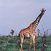 Tanzania & Kenya 1988 : Two weeks chasing game animals in places like Ngorongoro Crater, Lake Manyara, Olduvai Gorge, and the Serengetti Plain.