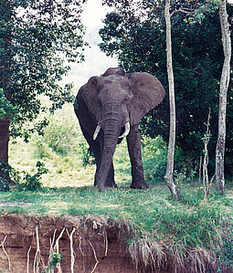An enraged female African Elephant flares her huge ears and trumpets loudly when she happened on me at her favorite stream. Serengeti National Park, Tanzania.
