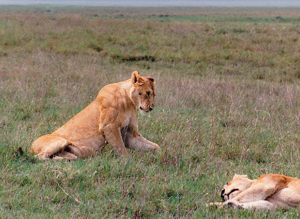 A nice shot that displays the massive shoulder and foreleg musculature of this mature lioness.