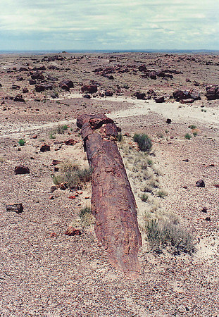 Petrified Forest National Park, near Holbrook in northeastern Arizona. Fossilized logs of Sequoia sempervirens (Redwood) trees.