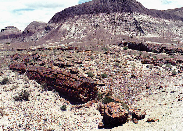 Petrified Forest National Park, near Holbrook in northeastern Arizona. Fossilized log of Sequoia sempervirens (Redwood) tree.
