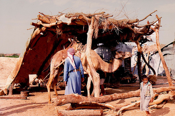 A camel-powered sesame oil mill located on the road to Sana'a.