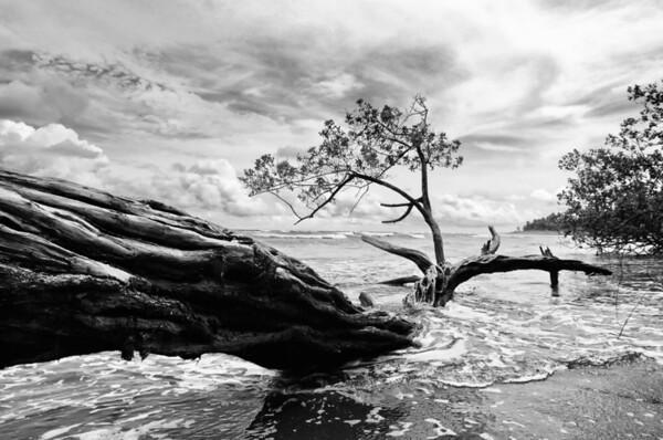 Fallen Costa Tree BW 6 Nik2 @1920 DSCF2673