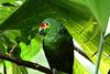 Geen Parrot 2 12x18 DSCF1163
