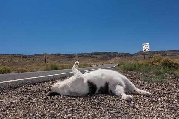 9th Life at 55 mph. 89A Vermillion Cliffs, Arizona USA