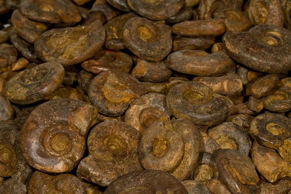 ammonites. Gem & Mineral Show, Tucson, Arizona USA