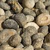 sea urchin fossils. Gem & Mineral Show, Tucson, Arizona USA