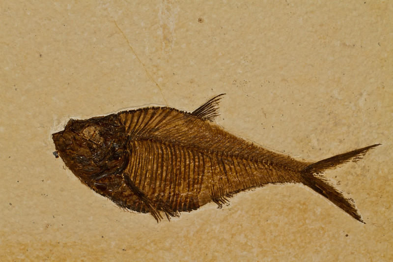 fossil fish (Solenhofen, Germany - Fossilien Galerie). Gem & Mineral Show, Tucson, Arizona USA