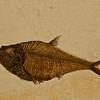 fossil fish (Solenhofen, Germany - Fossilien Galerie). Gem & Mineral Show, Tucson, Arizona USA