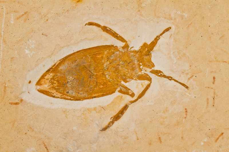 waterbug fossil (Crato formation Brazil - indiana9 Fossils). Gem & Mineral Show, Tucson, Arizona USA