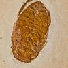 waterbug fossil (Crato formation Brazil - Zeder Co. International). Gem & Mineral Show, Tucson, Arizona USA