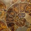 ammonite. Gem & Mineral Show, Tucson, Arizona USA
