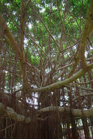 'Banyon Tree', Hawaii