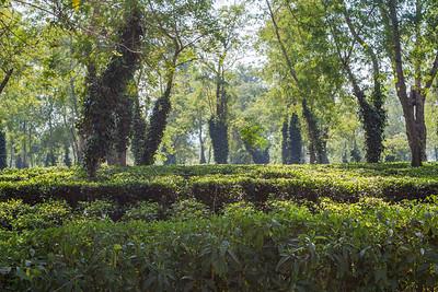 Tea fields, Tezpur, Assam India