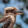 captive blue-winged kookaburra, <i>Dacelo leachii</i> (Coraciiformes, Alcedinidae).  Kangaroo Island Australia