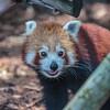 red panda (captive), <i>Ailurus fulgens</i> (Ailuridae). Adelaide Zoo. Adelaide Australia