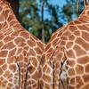two butts, giraffe (captive), <i>Giraffa camelopardalis</i> (Giraffidae). Adelaide Zoo. Adelaide Australia