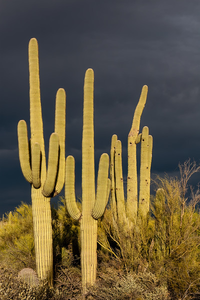 saguaro cactus, Carnegiea gigantea (Cactaceae) during monsoon. Tucson, Pima Co., Arizona USA