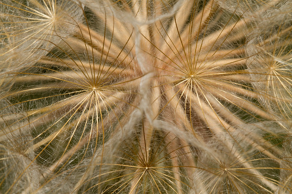 seedhead of purple salisfy, Tragopogon porrifolius (Compositae, Asteraceae). Logan, Cache Co., Utah USA