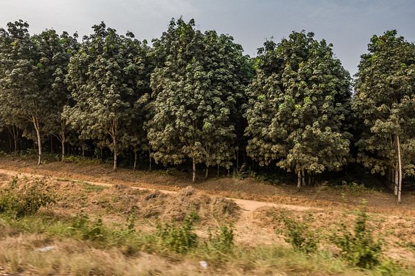 rubber trees, drive fromTombel to Ekona, Southwest Region, Cameroon Africa