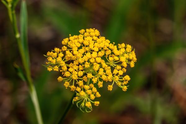 mountain parsley, Cymopterus lemmonii (Pseudocymoptereus montanus) (Apiaceae). Apache-Sitgreaves National Forest, Apache Co. Arizona USA