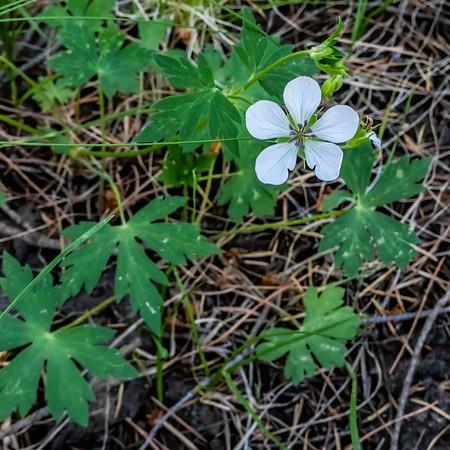 Richardson's geranium, Geranium richardsonii (Geraniaceae). Apache-Sitgreaves National Forest, Apache Co. Arizona USA