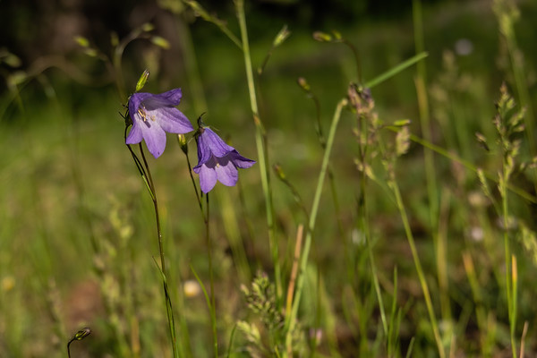 harebell bluebell, Campanula rotundifolia (Campanulaceae). Apache-Sitgreaves National Forest, Apache Co. Arizona USA