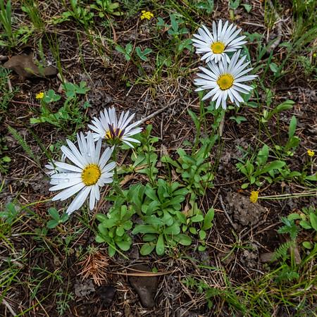 tower daisy, Townsendia formosa (Compositae). Apache-Sitgreaves National Forest, Apache Co. Arizona USA