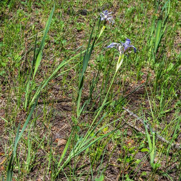 Rocky Mountain iris, Iris missouriensis (Iridaceae). Apache-Sitgreaves National Forest, Apache Co. Arizona USA