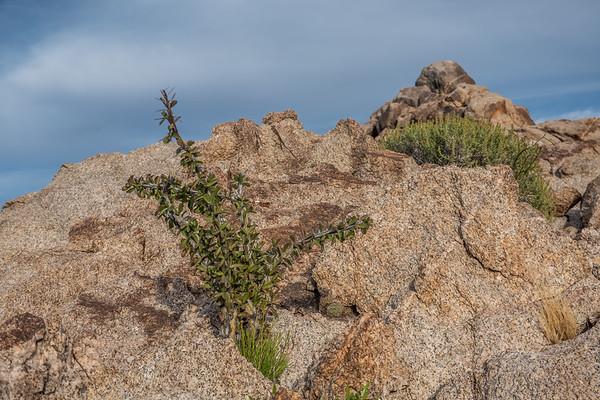 ocotillo, Fouquieria splendens (Fouquieriaceae). Christmas Pass, Cabeza Prieta National Wildlife Refuge, Yuma County Arizona USA