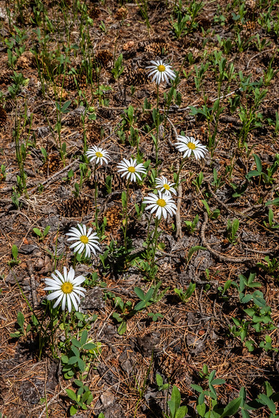 spreading fleabane, Erigeron divergens (Asteraceae). Apache-Sitgreaves National Forest, Apache Co. Arizona USA