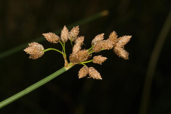 burr reed sedge flower head, Carex sparganioides (Cyperaceae). San Pedro River, south of bridge at Charleston, Cochise Co., Arizona USA