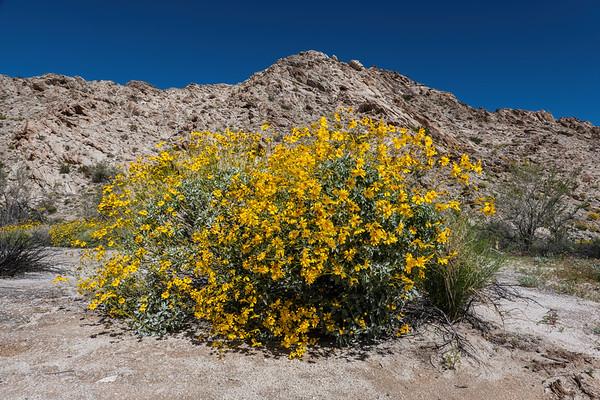 brittlebush in bloom, Encelia farinosa (Asteraceae). El Camino del Diablo, Tinajas Altas Mountains, Barry Goldwater Range, Yuma county Arizona USA