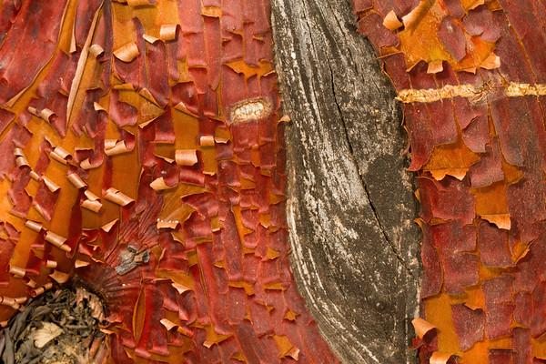 manzanita bark, Arctostaphylos pungens (Ericaceace). top of Carr Canyon, Huachuca Mountains, Cochise Co., Arizona USA