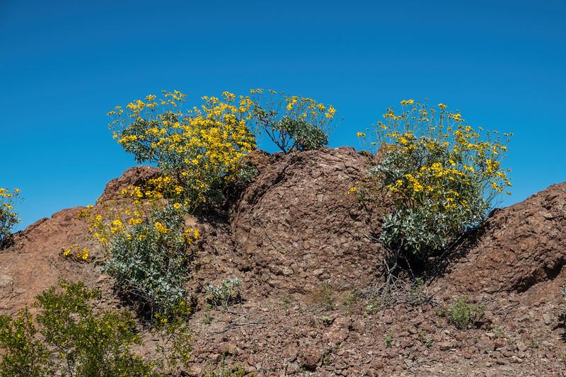 brittlebush, Encelia farinosa (Asteraceae). El Camino Del Diablo, Barry Goldwater Range & Cabeza Prieta, Yuma County Arizona USA